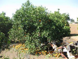 Detalle de la recolección de un naranjo con un vibrador de troncos.