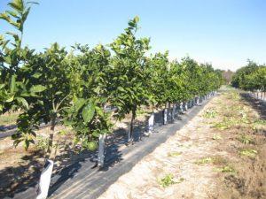 Detalle de una plantación de súper alta densidad de cítricos