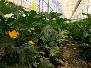 Cultivo de calabacín ecológico plantado en febrero, protegido con la estructura de malla.