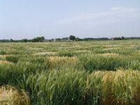 Avance para mejorar rendimientos en trigo duro