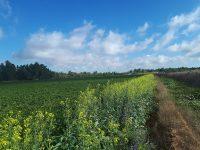 Extender la biodiversidad en tomate