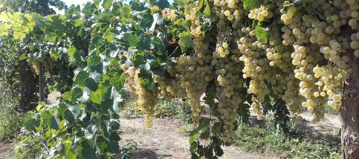 Bestbrandy: nuevas técnicas de manejo del viñedo