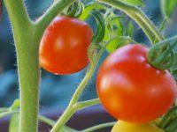 Mayor eficacia de los bioestimulantes en tomate