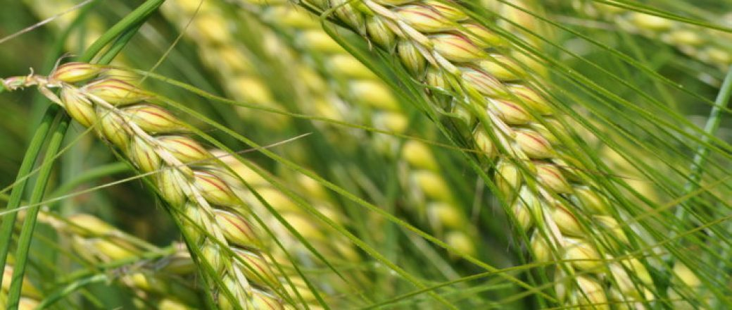 Comportamiento de las nuevas variedades alternativas de cebada