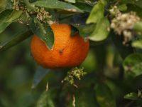 Control de la mosca mediterránea de la fruta en cítricos