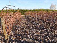 Un proyecto aragonés busca aprovechar la prepoda de la vid como biomasa