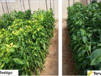 Autorizada una nueva solución de protección de cultivospara el control de nemátodos