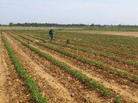 Uso de imágenes satelitales para la gestión agronómica del tomate de industria