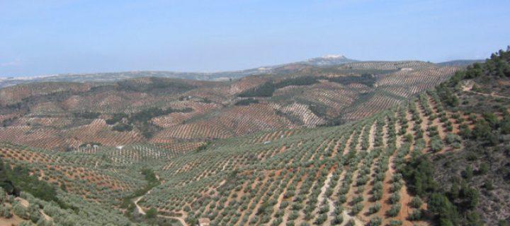 La cooperación como estrategia empresarial para aumentar la rentabilidad del olivar tradicional