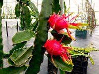 La pitaya dispara su productividad en el invernadero almeriense