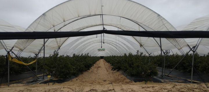 Respuesta al riego de un cultivo de arándano