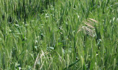 Influencia de la fecha de siembra y la dosis de abono sobre las malas hierbas en trigo