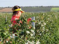 Agroberry, la zarzamora de Castilla y León