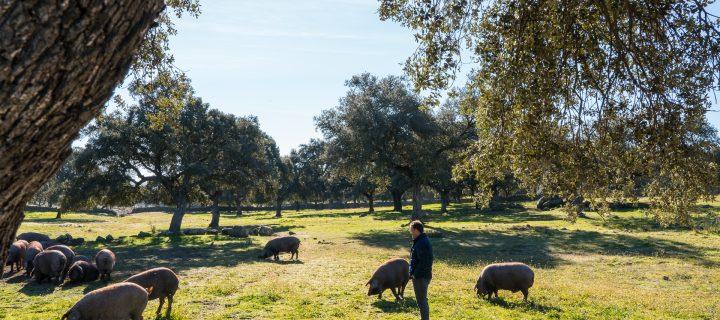 La producción más sostenible del cerdo 100% ibérico Torbiscal