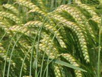 Gestión de enfermedades emergentes en cereales de invierno