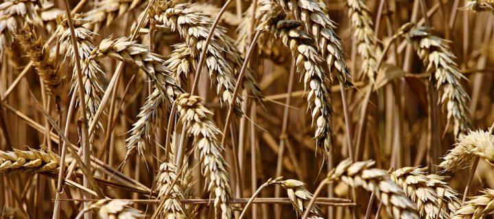 El Grupo Operativo InnovaTrigo acelera los trabajos por la sostenibilidad de la producción de trigo