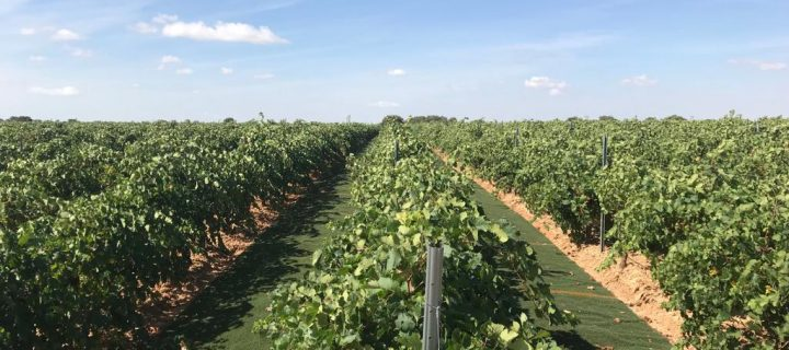 Nuevas formas sostenibles de viticultura: el uso de césped artificial