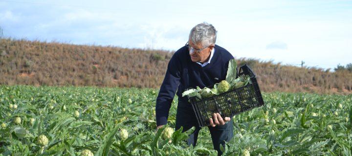 La alcachofa, uno de los cultivos más rentables de la huerta de Benicarló