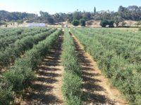 Ensayo de variedades de olivar en seto en la Finca La Orden