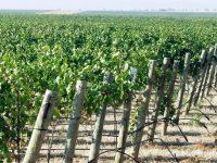 Cuidar el suelo y su materia orgánica, clave para el viñedo ante el cambio climático