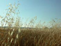 Predecir el crecimiento de avena loca en trigo para reducir el uso de herbicidas