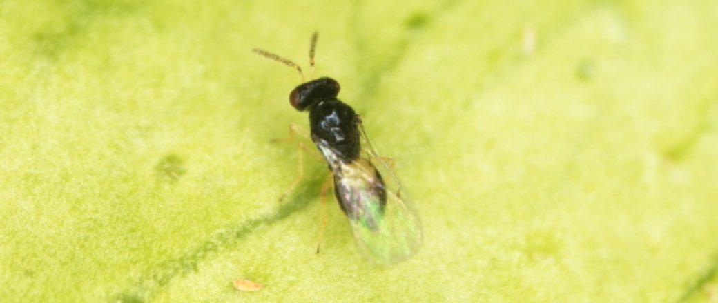 Estudian la liberación de T. dryi para frenar el avance de Trioza erytreae en la Península Ibérica