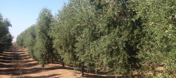 Diagnóstico de la savia del olivo para la mejora del fertirriego