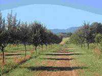 Almendra de Montaña, la adaptación de las nuevas variedades de almendro en regadío en Lleida