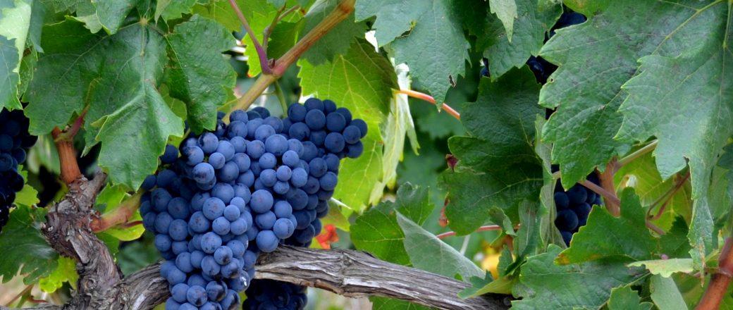 El cambio climático puede adelantar la maduración de la uva de Tempranillo en la DOC La Rioja