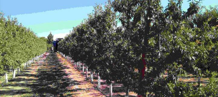Proyecto demostrativo + Almendra: plantaciones de alta densidad en almendro