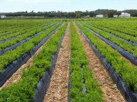 Stevia del Condado, la apuesta por el cultivo en ecológico de stevia en Andalucía