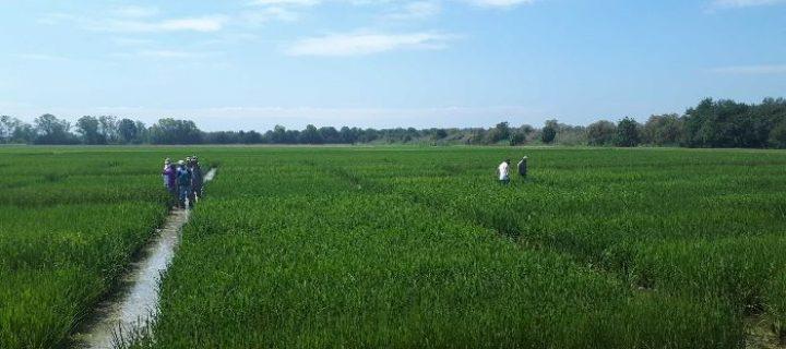 El proyecto Neurice de variedades de arroz tolerantes a la salinidad entra en su fase final