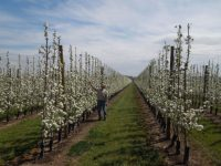 Manzano y peral, dos ejemplos de eficiencia en sistemas de plantación 2D en frutales
