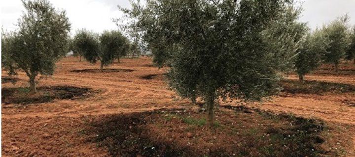 El Grupo Operativo Valorares aplica en olivar compost generado por la cooperativa Virgen de la Estrella