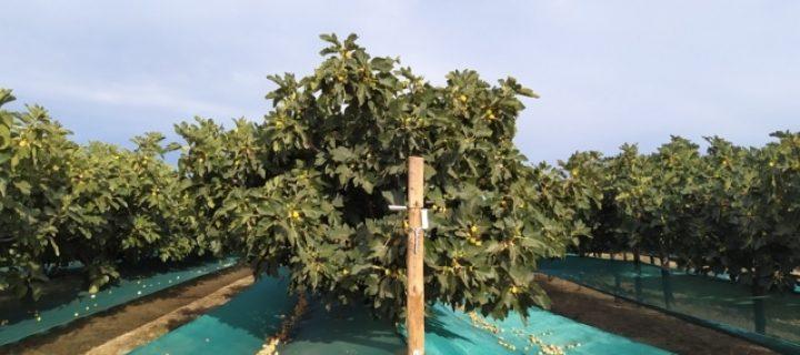 Sistema de producción de higos secos en superintensivo, una alternativa rentable