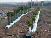 Cultivo de frutales usando sustrato como apoyo al sistema convencional