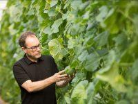 Melonomics, la semilla de los mil genomas de melón