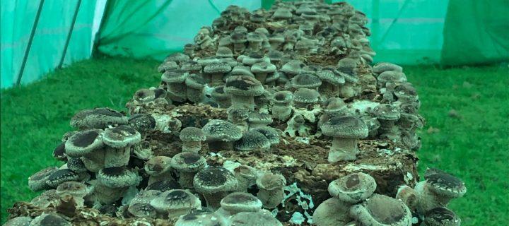 EntreSetas, el cultivo ecológico de setas en Palencia