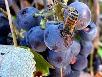 Investigan el polen para mejorar la producción de vinos