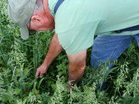 La teledetección, la mejor opción para el desarrollo de la alfalfa aragonesa