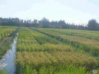 El proyecto Neurice concluye con el registro de seis variedades de arroz tolerantes a la salinidad
