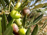 Oleo Quirós apuesta por cultivar distintas variedades para elaborar sus aceites ecológicos monovarietales