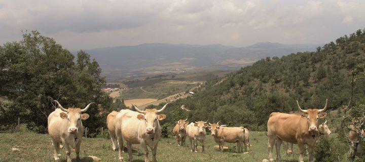 Red BovINE, el proyecto para desarrollar una red de innovación de vacuno de carne en toda Europa