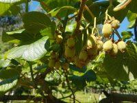 Fruit Growing Quality apuesta por la nuevas variedades de kiwi rojo y amarillo
