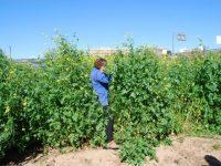 Manejo agronómico de Sinapis alba subsp. mairei para biofumigación en olivar