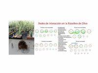 El CSIC desvela el papel de la comunidad microbiana frente a la verticilosis del olivo