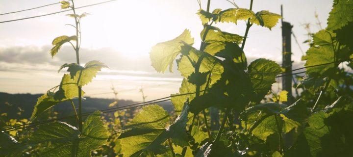 En marcha nueve proyectos que contribuyen a mejorar la sostenibilidad en la viticultura