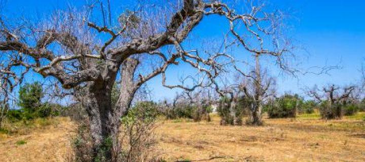 Identificadas 37 nuevas especies de plantas huéspedes de Xylella fastidiosa