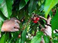 Cerezas Cherries Glamour, a 450 euros el kilo