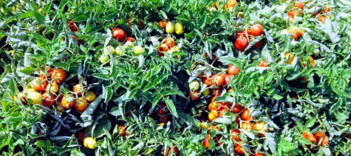 Diversificación de cultivos para obtener rentabilidad en la Vega del Guadalquivir
